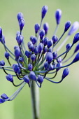 Agapanthus africanus, Close view of blue purple flowers about to emerge, growing in an umbel shape, against green background.
