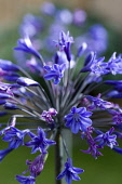 Agapanthus africanus, Close view of blue purple flowers emerging, from an umbel shaped flowerhead, against a green background.