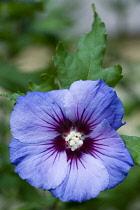 Rose mallow 'Blue Bird', Hibiscus syriacus 'Oiseau Bleu', A single purple blue flower with white stamens.