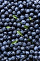 Blackthorn, Prunus spinosa, Abundant harvest of purple sloe berries and a few leaves from the shrub.