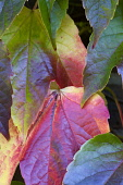 Boston ivy, Parthenocissus tricuspidata, Close-up detail of green leaves turning red and yellow in autumn.