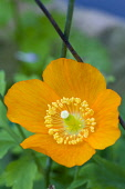 Icelandic poppy, Papaver nudicaule, Close-up detail of a single orange flower with yellow stamen against a green leafy background.