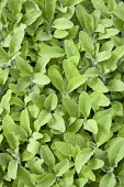 Sage, Salvia officinalis, Close up of mass of dense green leaves of the garden herb.
