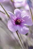 Madeira cranesbill, Geranium Maderense, Side view of one mauve flower with deeper centres among hairy stems.