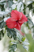 Rose mallow, Hibiscus rosa-sinensis 'Snow Queen' Front view of one red flower with long anther emerging from variegated leaves.