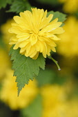 Japanese rose, Kerria japonica 'Pleniflora', Close view of one yellow flower with othes soft focus behind.