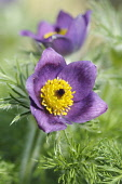 Pasque flower, Pulsatilla vulgaris, Close front view of one open purple flower with masses of yellow stamens and surounded with furry feathery foliage, Another flower behind.