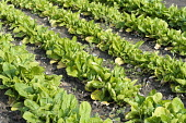 Spinach, Spinacea oleracea 'Amazon' growing in rows with bare earth in between, Top view.
