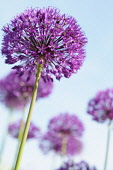 Allium Hollandicum 'Purple Sensation' Side view of one globe shaped head in full flower with others behind, Against blue sky.