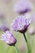 Chive, Allium schoenoprasum, Side view of 2 stems with pale purple flowers, one fully and one part open, Others soft focus behind.