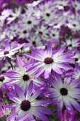 Senetti, Pericallis x hybrida 'Senetti Magenta Bicolor', Close view of 4 white flowers with pink purple tipped petals, others soft focus behind.
