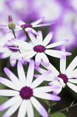 Senetti, Pericallis x hybrida 'Senetti Magenta Bicolor', Close view of white flowers with pink purple tipped petals, others soft focus behind.