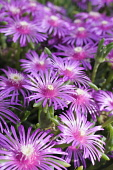 Trailing ice plant, Delosperma cooperi, Several open vivid pink flowers with unusual central stamens.