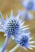 Sea holly, Eryngium planum, Close view of one blue spikey flower with yellow tipped stamens, Others soft focus behind.