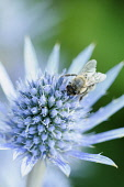 Sea holly, Eryngium planum, Close view of one blue spikey flower with yellow tipped stamens, A honey bee is collecting pollen.
