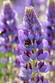 Lupin, Lupinus 'Purple Emperor', Side view of one spire with bicolour flowers of mauve and magenta, and a buff tailed bee entering one, in bright sunshine, Others soft focus behind,