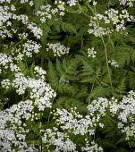 Cow parsley, Anthriscus sylvestris, Top view of several white flowers and fern shaped leaves forming a patern,