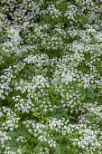 Cow parsley, Anthriscus sylvestris, Top view of masses of white flowers and leaves,