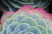 Glaucus echeveria, Echeveria secunda var, glauca, Graphic, overhead, cropped view of part of two rosettes of grey-green leaves flushed pink at their edges.
