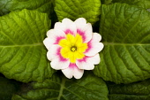 Primrose, Primula 'Delia mix', Overhead graphic view of one cream flower with a pink ring and yellow middle, positioned in the centre surrounded by a neat rosette of green leaves.