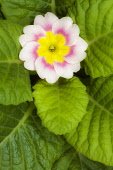 Primrose, Primula 'Delia mix', Overhead graphic view of one cream flower with a pink ring and yellow middle, surrounded by a neat rosette of green leaves.