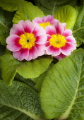 Primrose, Primula 'Appleblossom', Overhead graphic view of three flowers flushed with pink and a yellow centre, surrounded by green leaves.