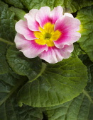 Primrose, Primula 'Appleblossom', Overhead view of one cream flower flushed with pink and a yellow centre, surrounded by a neat rosette of green leaves.