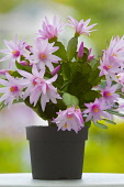 Rose Easter cactus, Rhipsalidopsis rosea, A plant in a black pot, covered with pink flowers with unfurling, yellow tipped pink stamens and white stigma in the centre, On a white surface against a dapp...