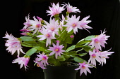 Rose Easter cactus, Rhipsalidopsis rosea, A plant in a black pot, covered with pink flowers with unfurling, yellow tipped pink stamens and white stigma in the centre, Against a black background.
