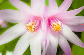 Rose Easter cactus, Rhipsalidopsis rosea, Close view of two mirrored, adjoining flowers with unfurling, yellow tipped pink stamens and white stigma in the centre.