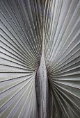 A silver grey Fan palm cultivar, Close view of the ribs radiating out from the centre, Shot in Vietnam.