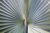 A silver blue grey Fan palm cultivar, Close view of the ribs radiating out from the centre, Shot in Vietnam.