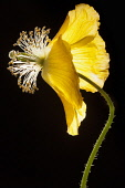 Poppy, Welsh poppy, Meconopsis cambrica, Side view of the fading, yellow flower on a thin hairy stem, The petals are swept back, causing the stamens and stigmas to protrude prominently, Backlit high c...