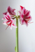 Amaryllis, Hippeastrum 'Gervase', One stem with bold, striped flowers, deep magenta petals and white highlights, Long curled stamen and stigma, Against a graduated white background.