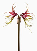 Amaryllis, Hippeastrum 'Chico', Side view of one stem with symmetrical flowers either side, having curled spikey pink and green petals with long curled stamen and extended stigma, Against a white back...