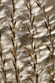 Eulalia grass, Miscanthus sinensis 'Kleine Silberspinne', Close abstract pattern of fronds bearing fluffy seeds, backlit.