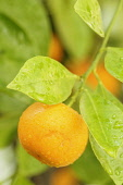 Calamondin, Citrus madurensis, Fruit growing with leaves covered in raindrops.