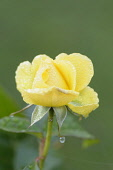 Rose, Rosa 'Golden smiles', Close view of one yellow flower opening, covered with frost.