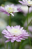 Marguerite daisy, Argyranthemum frutescens cultivar, Side view of flowers with mauve outer petals and cream inner petals on long stems.
