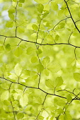 Beech, Fagus sylvatica, View looking up underneath twigs with bright green spring leaves in dappled sunlight.