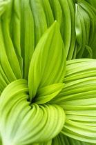 Black false hellebore, Veratrum nigrum, Bright green ribbed large leaves creating a pattern.