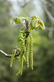 Heartnut, Juglans ailantifolia, Side view of long green catkins and new leaves emerging on the end of a twig.