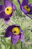 Pasque flower, Pulsatilla vulgaris, Slightly overhead view of 3 open  deep burgundy flowers showing bright yellow stamens, surrounded by hairy foliage, In sunlight.