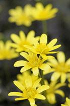 Lesser celandine, Ranunculus ficaria 'Brazen Hussy', Several open daisy shape yellow flowers with yellow stamens.