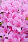 Japanese azalea, Rhododendron 'Hinomayo', Top view of many pink flowers creating a pattern.