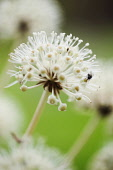 Fatsia, Fatsia japonica. Close side view of spherical white flower on stem with fly collecting pollen.