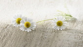 Chamomile, Chamaemelum nobileon. Three flowers with stalk and leaves arranged on pale, distressed, wooden background. Selective focus.