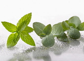 Peppermint, Mentha piperita sprig arranged with Eucalyptus globulus leaves on silver background, and spritzed with water. Selective focus.