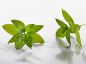 Peppermint, Mentha piperita sprigs on silver background, and spritzed with water. Selective focus.