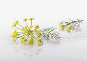 Fennel, Foeniculum vulgare flowering umbel with leaf arranged on silver background, and spritzed with water. Selective focus.